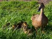ducklings 2014