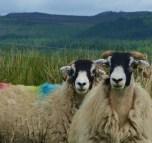 Skipton sheep
