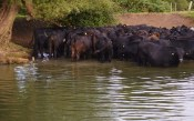 cows on Thames